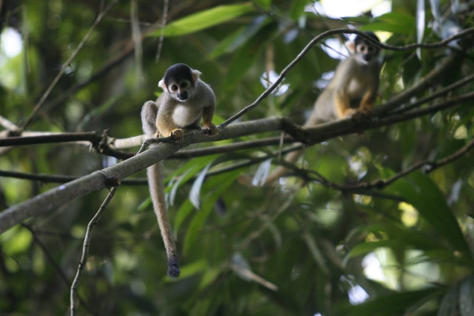 squirrel-monkey-amazon-rainforest-tour-peru