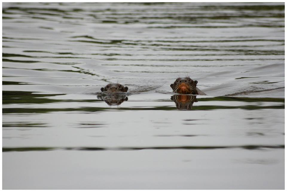 otters-tambopata-amazon-jungle-tour-peru