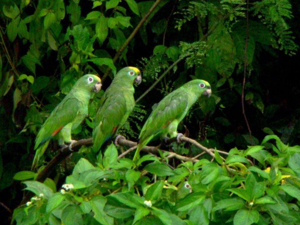 parrots-cuyabeno-amazon-tour-ecuador
