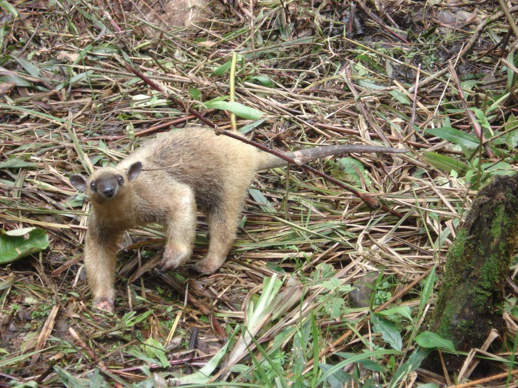 anteater-amazon-galapagos-tour-travel-ecuador