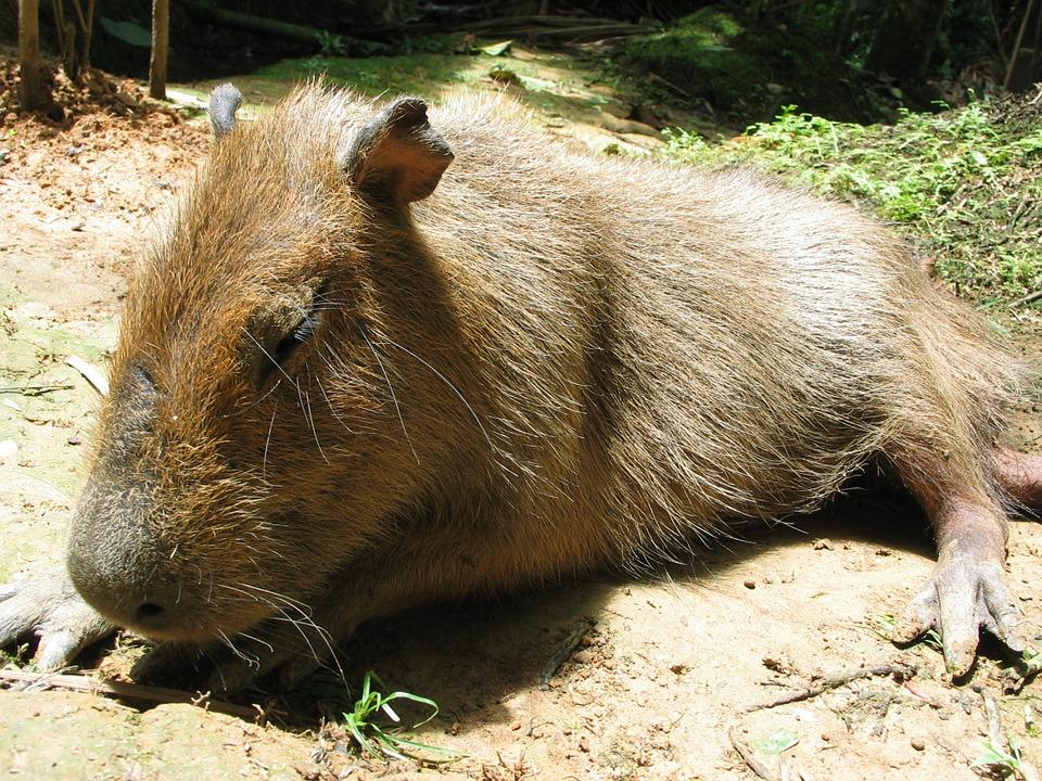 capybara-amazone-tour-peru-rondreizen