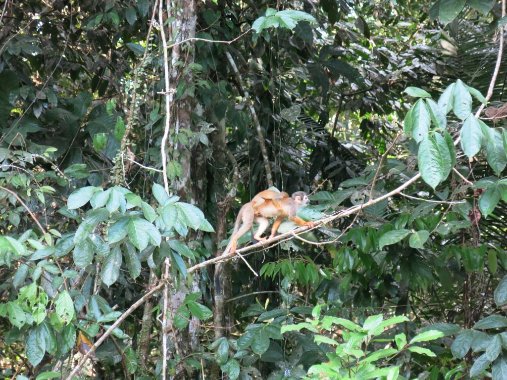 squirrel-monkey-cuyabeno-amazon-tour-ecuador