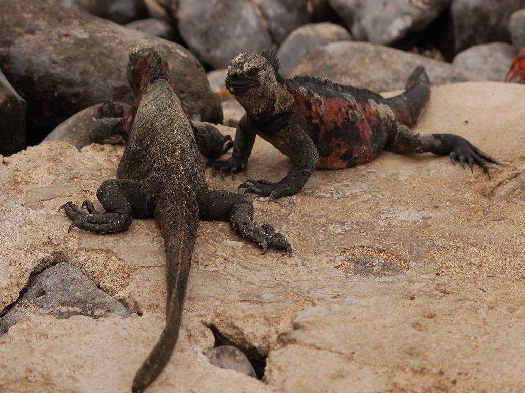 galapagos-iguanas-tour-travel-ecuador