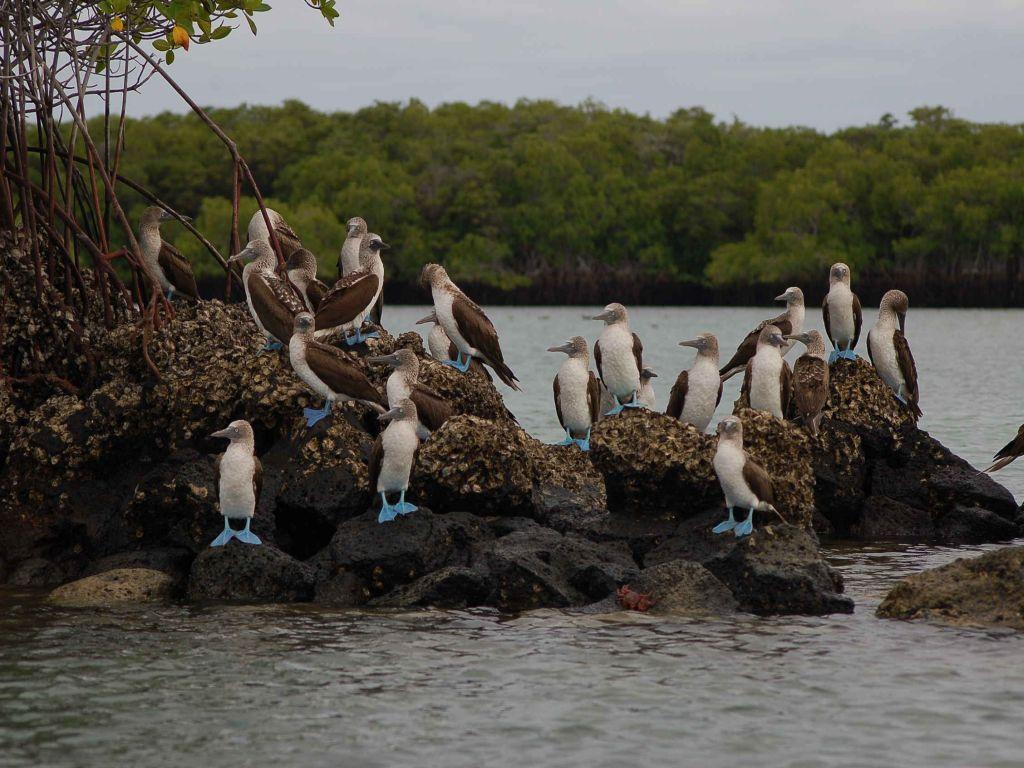 blue-footed-booby-galapagos-cruise-ecuador-tour