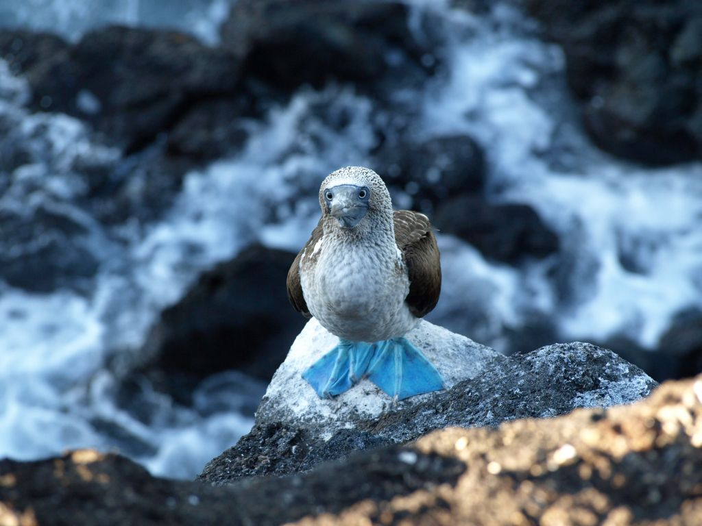 galapagos-blue-footed-booby-tour-cruise-ecuador