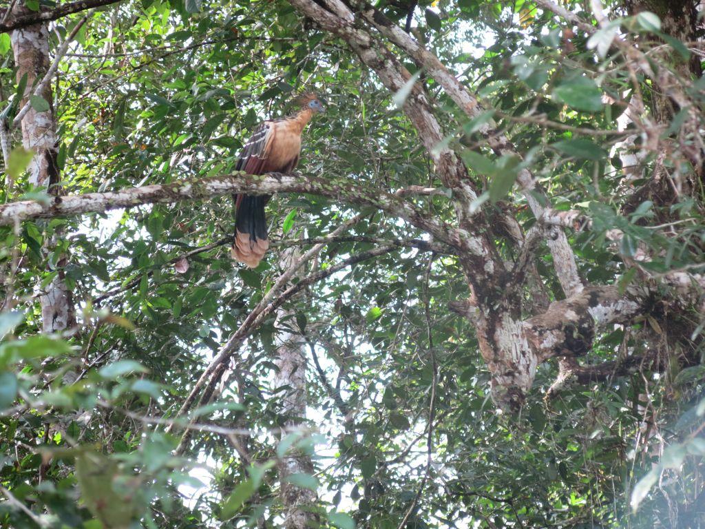 hoatzin-bird-cuyabeno-amazon-tour-ecuador