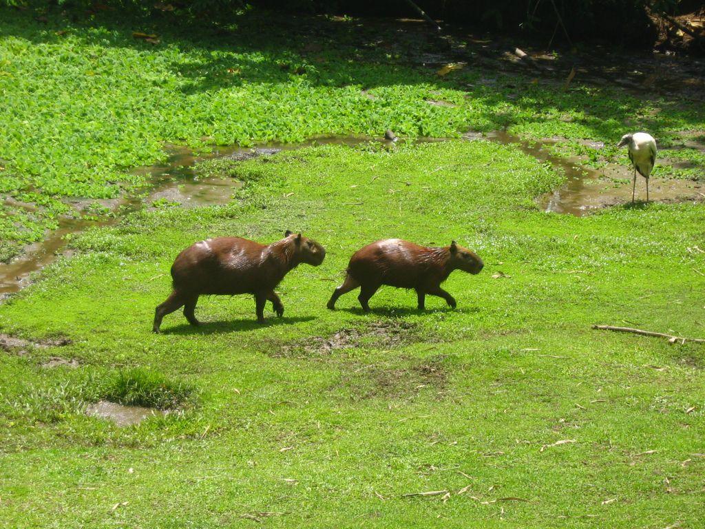 capybara-amazon-tour-peru-iquitos