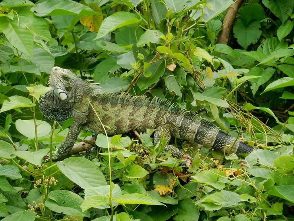 iguana-iquitos-amazon-peru-tour