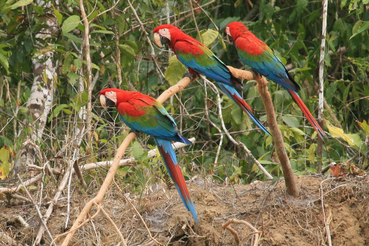 macaws-manu-clay-lick-amazon-tour-peru