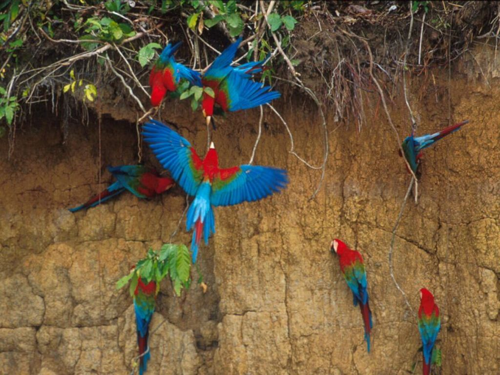 macaw-clay-lick-tambopata-amazon-tours-peru