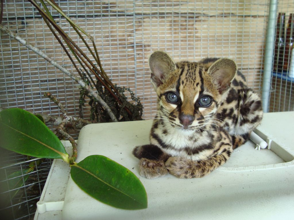 ocelot-merazonia-resque-center-amazon-ecuador