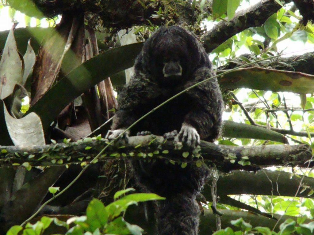 wooler-monkey-cuyabeno-amazon-tour-ecuador