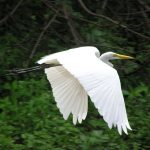 Flying white heron in Bolivian Amazon Rainforest tour