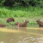 Capybaries at the Beni River during a tour in the Bolivian Amazon