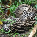 Ocelot in Yasuni Amazon Reserve Ecuador tours