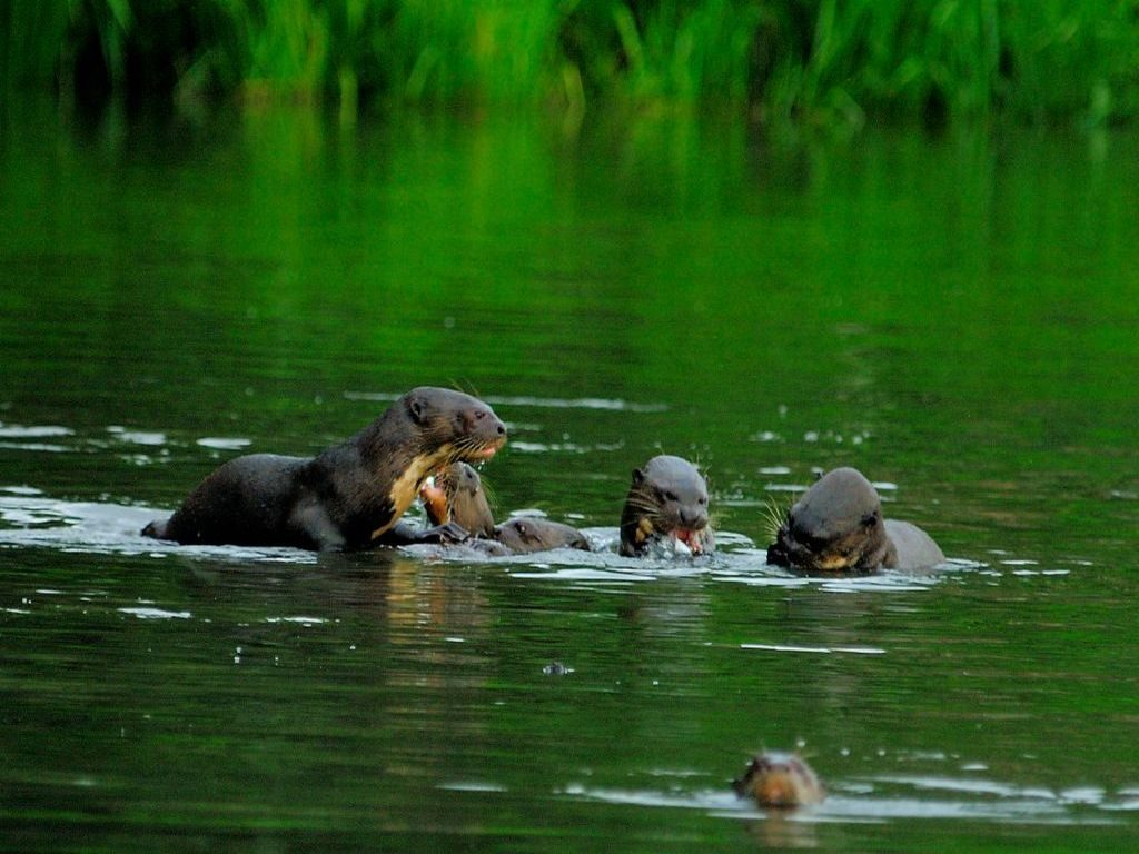 Otters in Manu Amazon Reserve Pantiacolla Lodge Peru