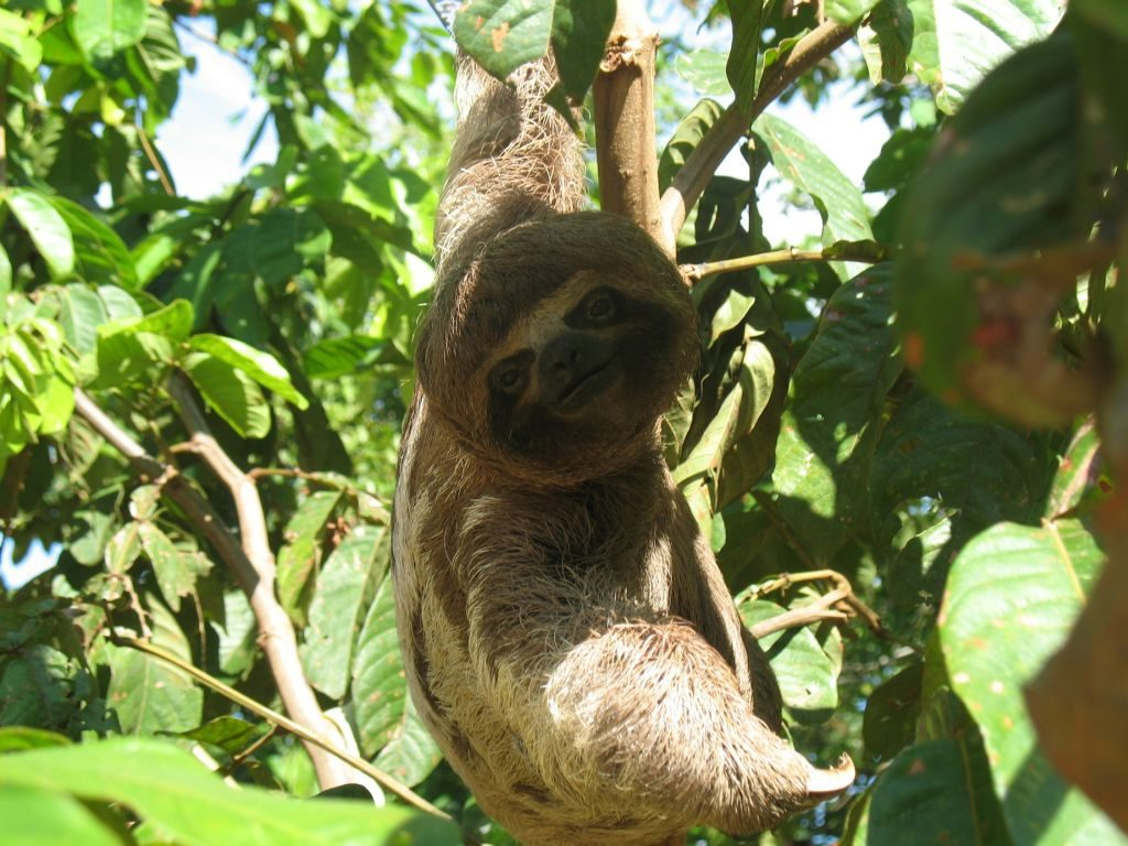 Sloth in Iquitos Amazon Rainforest of Peru
