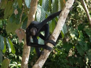 Spider monkey in the Tambopata Amazon Rainforest of Peru
