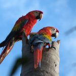 Red macaws during Amazon Rainforest tour in Peru