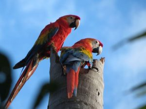 Red macaws during Amazon Rainforest tour in Madidi Bolivia