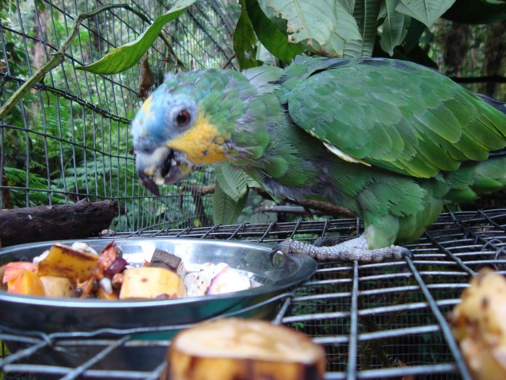 Rescued parrot at the Merazonia animal rescue center in Ecuador