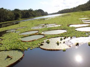 Victoria water lilies Iquitos Amazon tour Peru