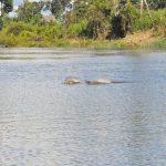 Dolphins in Iquitos Pacaya Samiria Amazon canoe tour Peru