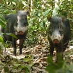White Lipped Peccaries Tambopata Amazon tour Peru