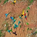 Macaw clay lick TRC Lodge Tambopata Amazon tours Peru