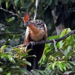 Hoatzin Tambopata TRC Amazon tour Peru